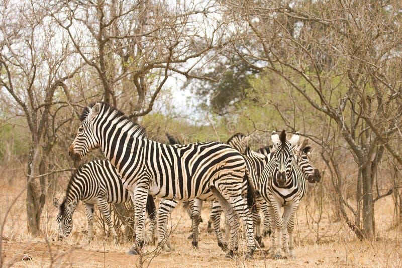 Troupeau de zèbres sauvages dans le buisson, Kruger, Afrique du Sud photo stock