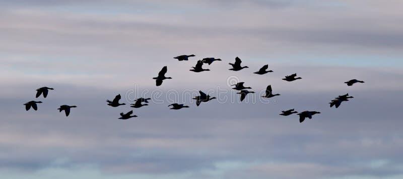 Troupeau des albifrons d'Anser d'oies (silhouette) volant au-dessus de l'Atla images libres de droits