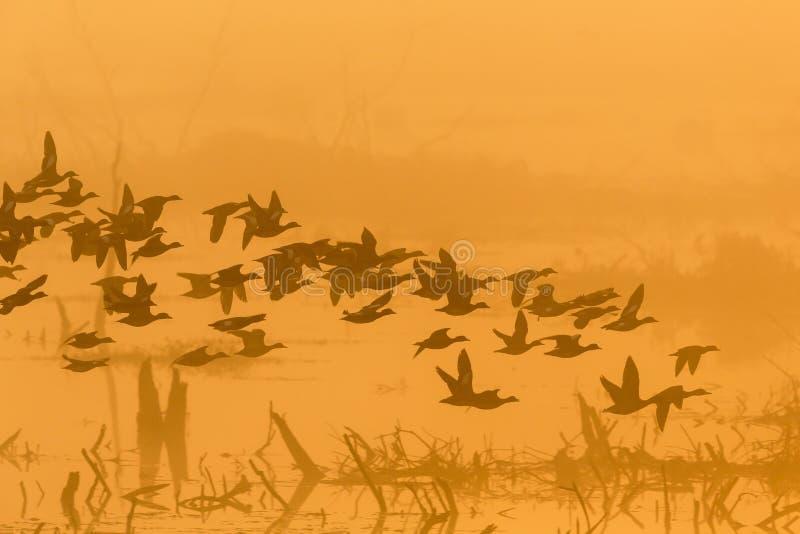 Troupeau des canards à l'aube photo stock
