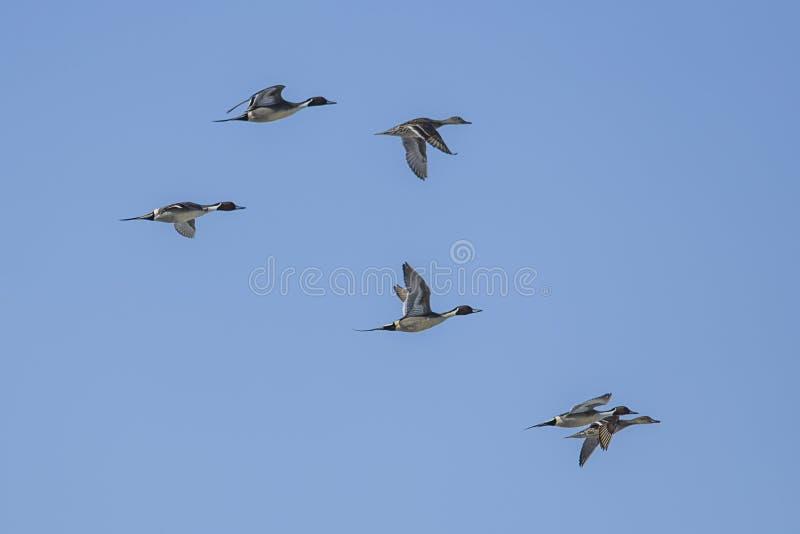 Troupeau des canards pilets du nord dans le ciel images libres de droits