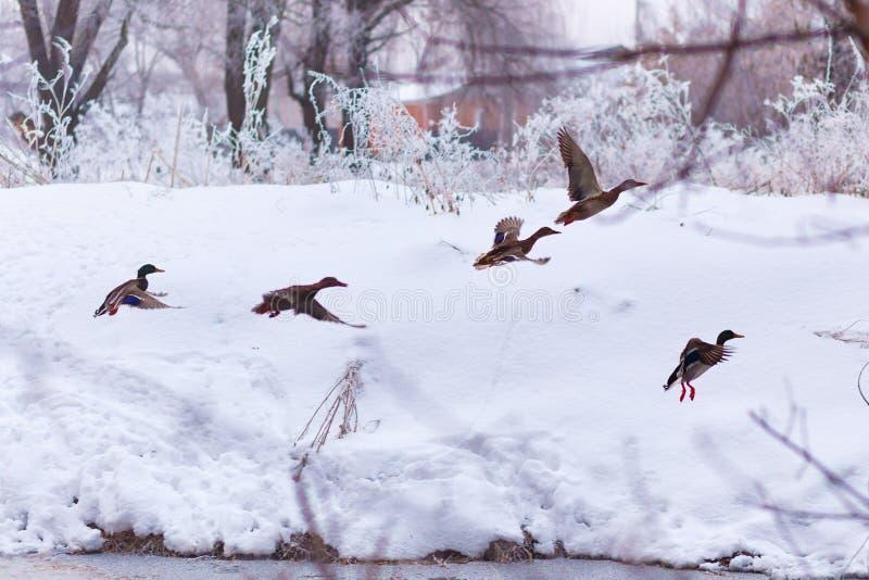 Troupeau des canards sauvages sur la rivière d'hiver image libre de droits