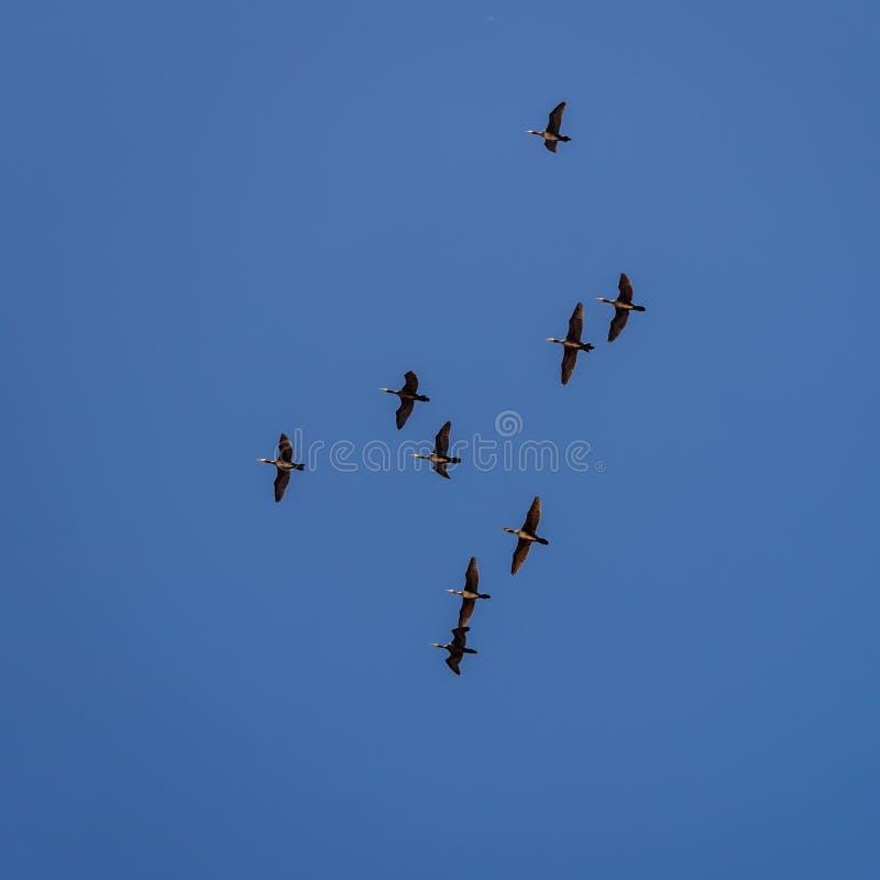 Troupeau des canards volant dans le ciel bleu, le vol image libre de droits