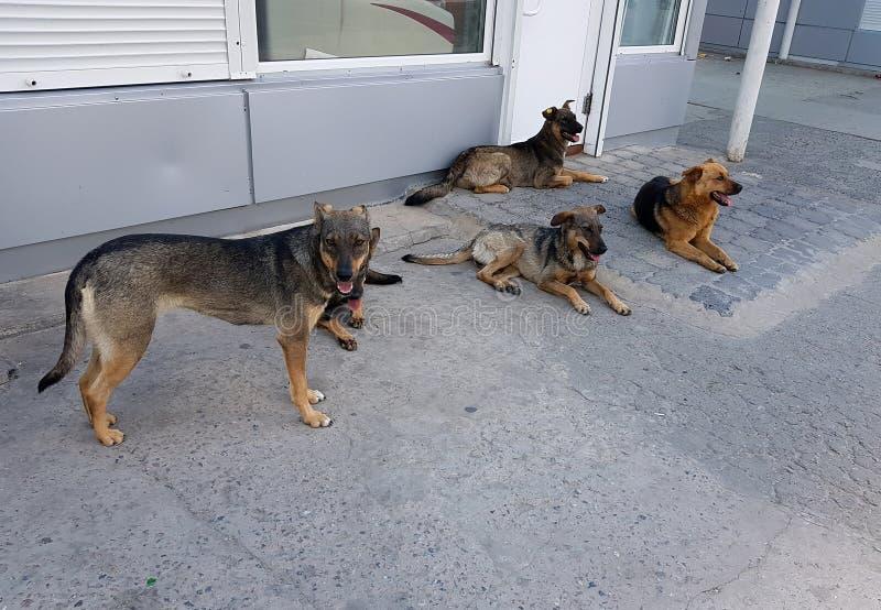 Troupeau des chiens sauvages dans la ville Agression des animaux photos stock