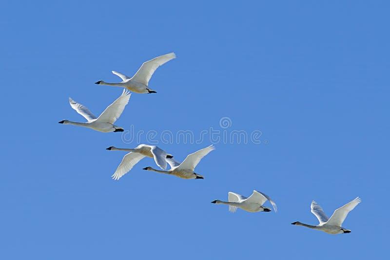 Troupeau des cygnes de toundra volant dans le ciel photos stock