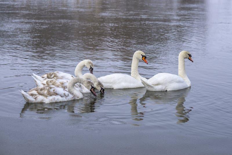 Troupeau des cygnes nageant sur la surface d'eau de rivière dans l'horaire d'hiver Hivernez les oiseaux images stock