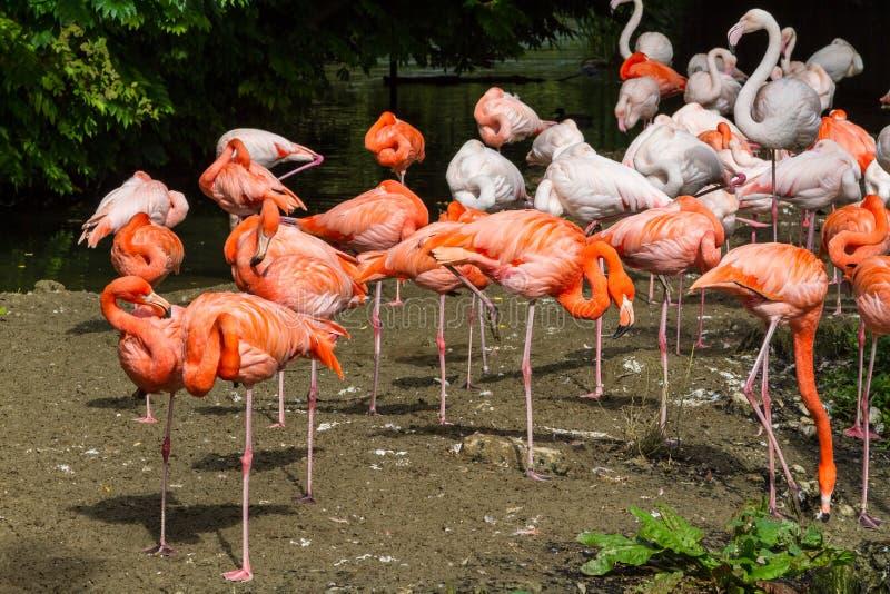 Troupeau des flamants oranges roses colorés images libres de droits