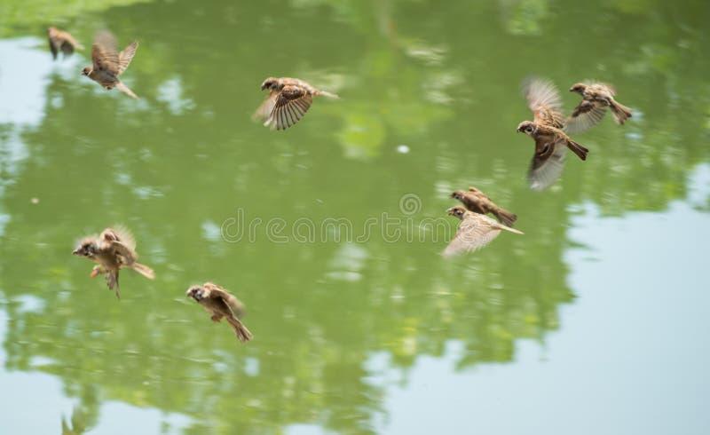 Troupeau des moineaux et du x28 ; Passant Domesticus& x29 ; voler près de la rivière dans le jour ensoleillé images libres de droits