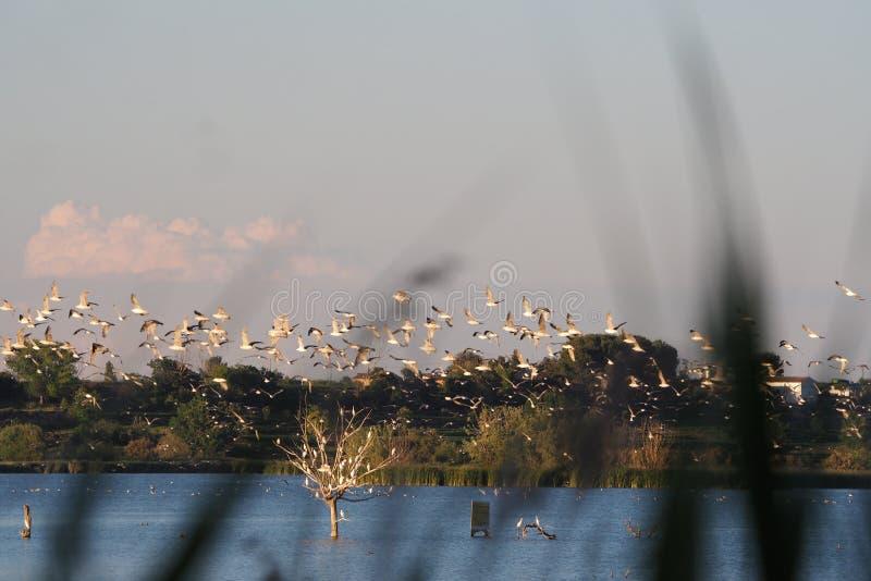 Troupeau des mouettes, maison de retour au coucher du soleil en troupeaux, Lerida, photos stock