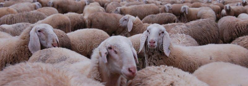 Troupeau des moutons photos libres de droits