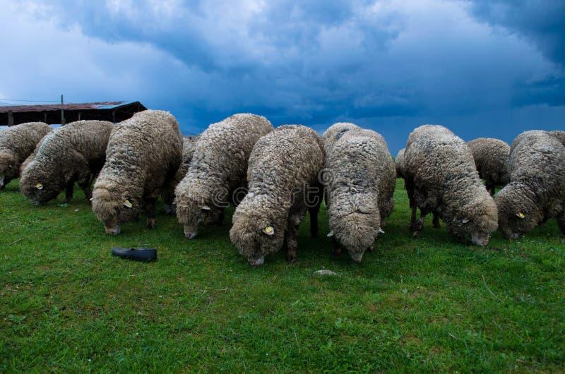 Troupeau des moutons photographie stock libre de droits