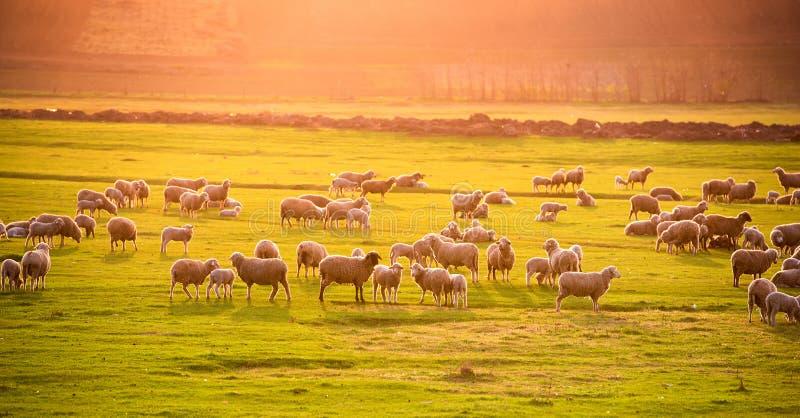 Troupeau des moutons au coucher du soleil photographie stock