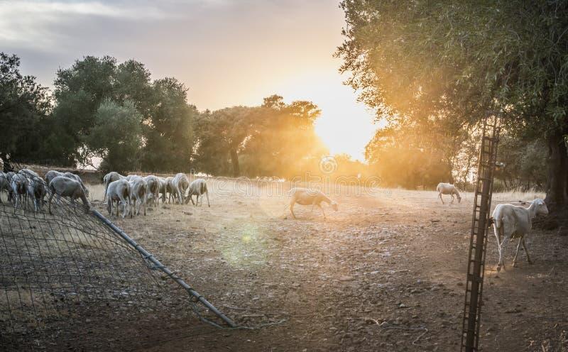 Troupeau des moutons au coucher du soleil image libre de droits