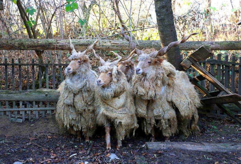 Troupeau des moutons dans la scène rurale de faibles luminosités photos stock