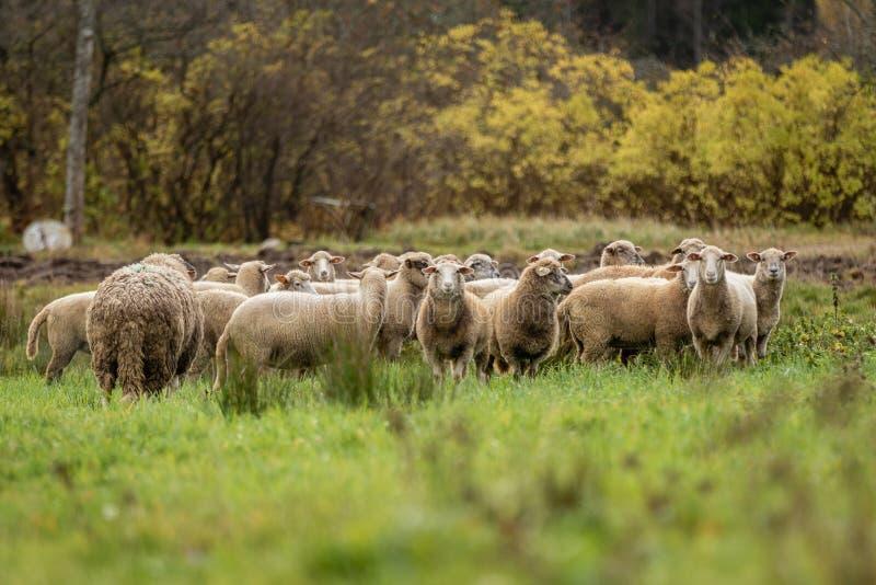 Troupeau des moutons dans le beau pré vert en Lettonie photo libre de droits