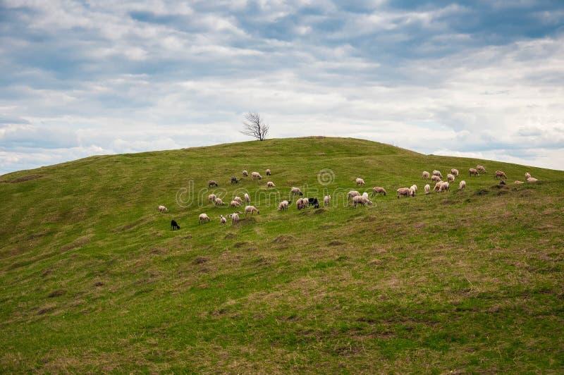 Troupeau des moutons dans les Carpathiens photos libres de droits
