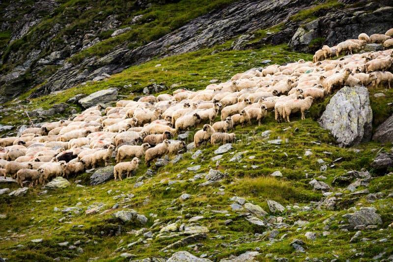 Troupeau des moutons dans les montagnes photographie stock