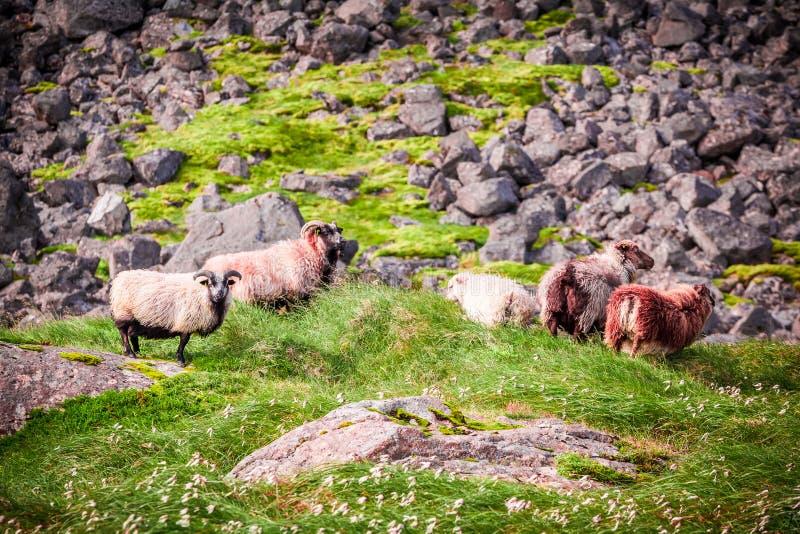 Troupeau des moutons dans les montagnes, Islande images libres de droits