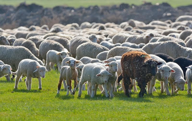 Troupeau des moutons et des agneaux sur le champ au coucher du soleil photographie stock