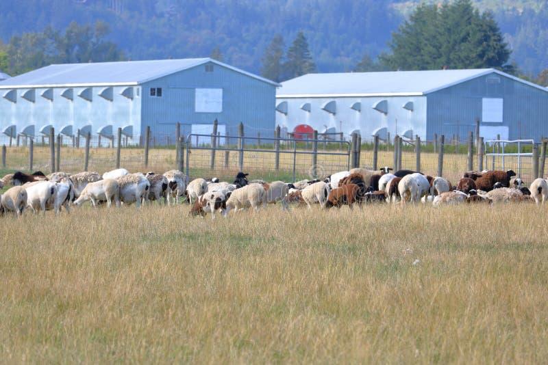 Troupeau des moutons et des bâtiments modernes de ferme images stock