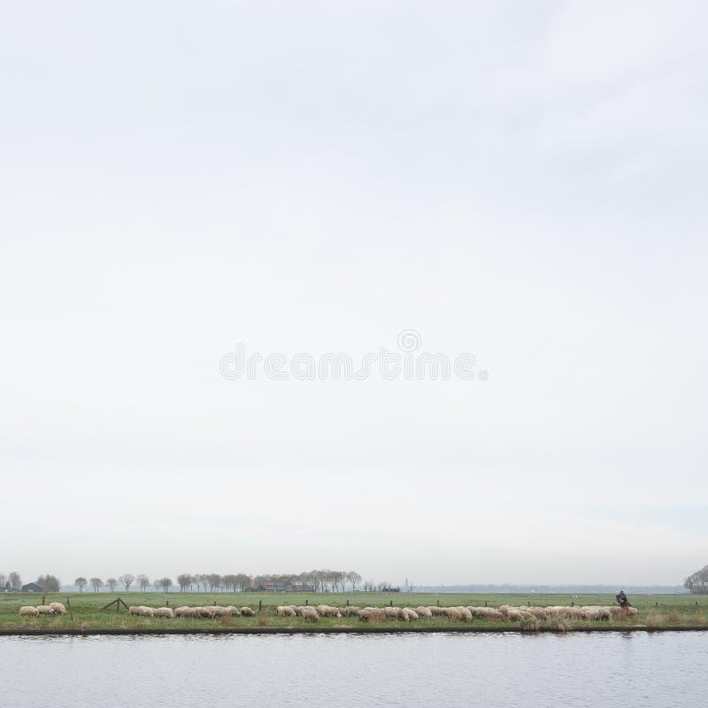 Troupeau des moutons et du berger le long de la rivière Eem près d'Amersfoort en Hollandes photos stock