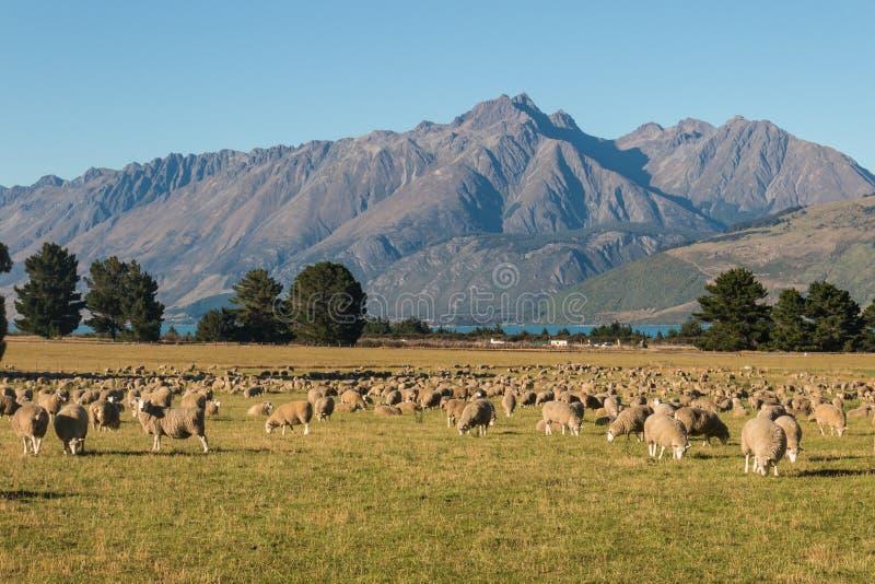Troupeau des moutons frôlant dans les Alpes du sud photographie stock libre de droits