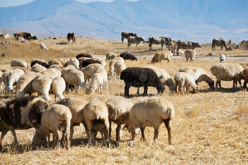 Troupeau des moutons frôlant sur l'herbe d'automne image libre de droits
