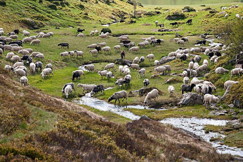 Troupeau des moutons frôlant sur un flanc de coteau en montagnes de Karpatian photo libre de droits