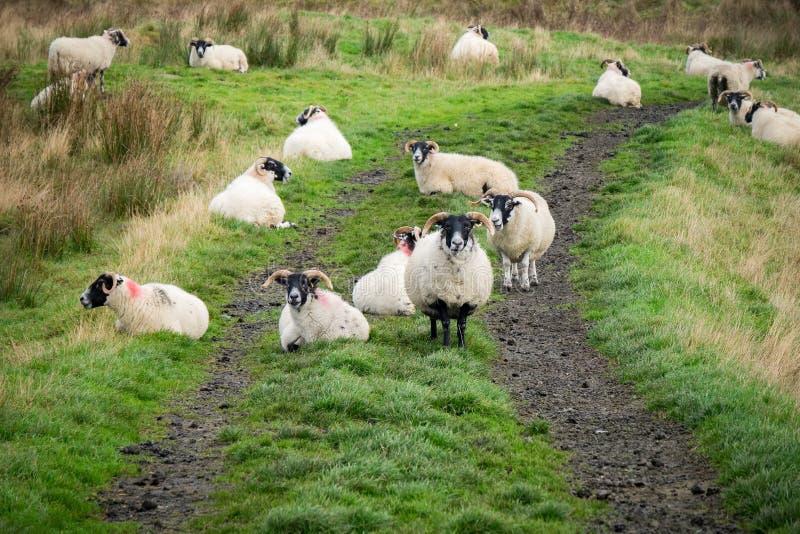 Troupeau des moutons, Irlande du Nord image stock