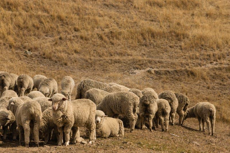 Troupeau des moutons mérinos photos libres de droits