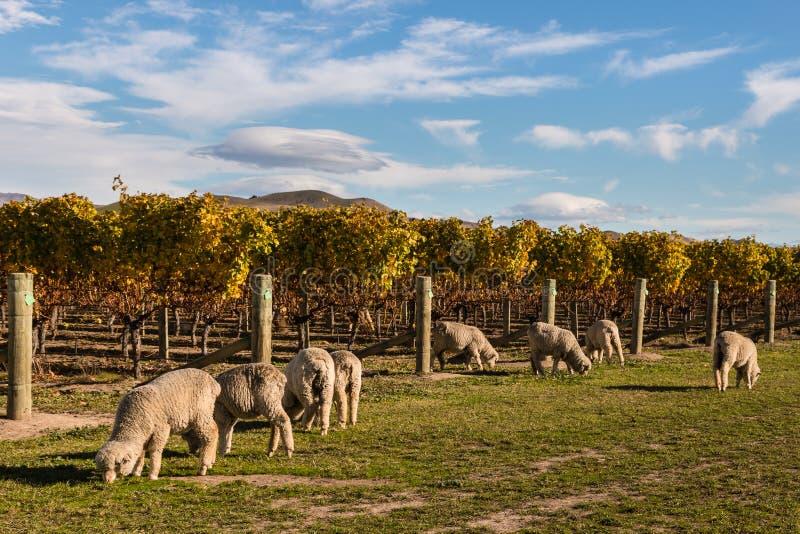 Troupeau des moutons mérinos dans le vignoble image libre de droits