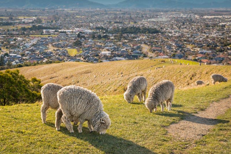 Troupeau des moutons mérinos frôlant sur des collines de Wither au-dessus de ville de Blenheim photos libres de droits