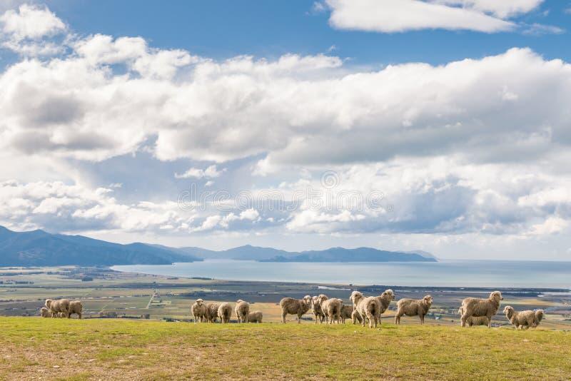 Troupeau des moutons mérinos frôlant sur des collines de Wither près de Blenheim, Nouvelle-Zélande photographie stock
