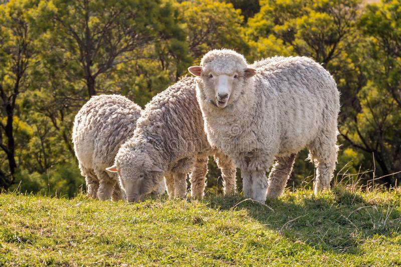 Troupeau des moutons mérinos frôlant sur le pré au coucher du soleil photos stock