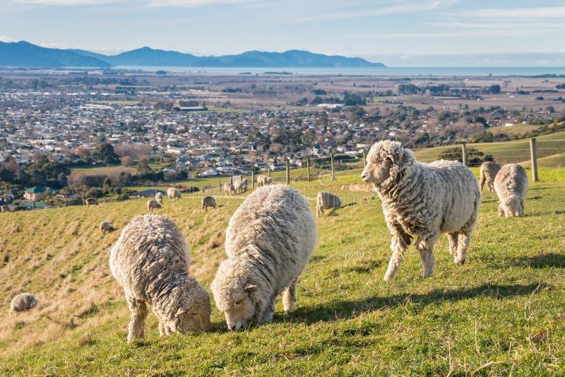 Troupeau des moutons mérinos frôlant sur des terres cultivables au-dessus de Blenheim photo libre de droits