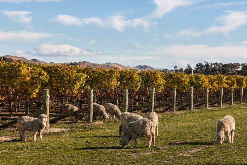 Troupeau des moutons mérinos frôlant dans le vignoble images stock