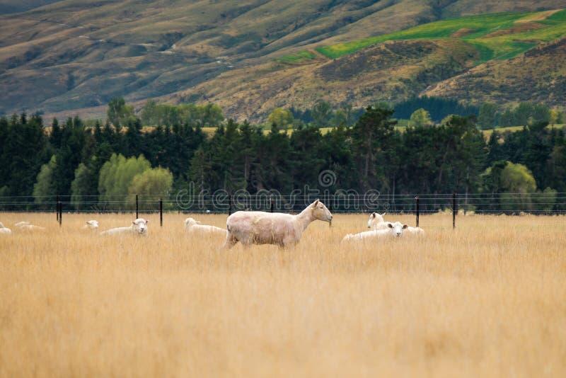 Troupeau des moutons, Nouvelle-Zélande images libres de droits