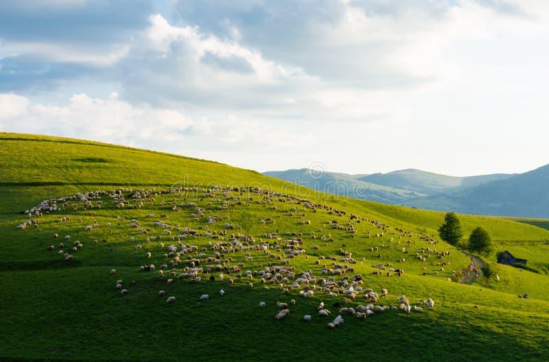 Troupeau des moutons recueillis dans la formation ronde, village de Dumesti, Roumanie photos libres de droits