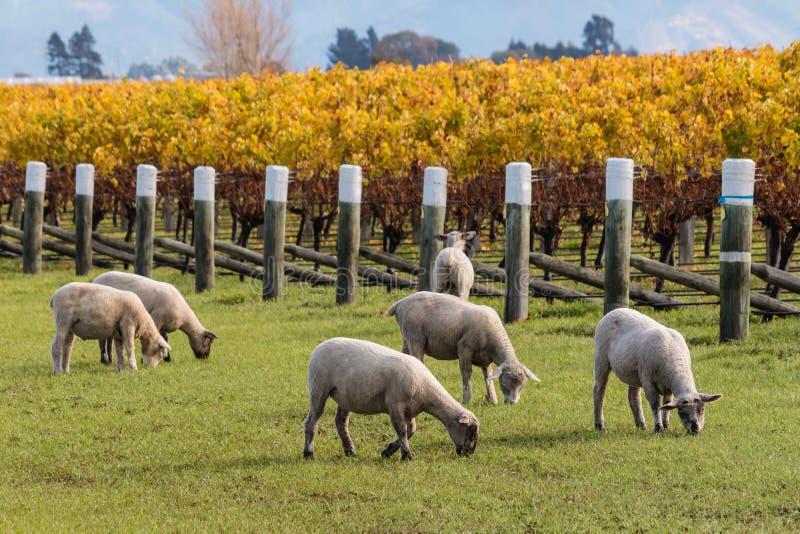 Troupeau des moutons tondus frôlant dans le vignoble photos libres de droits