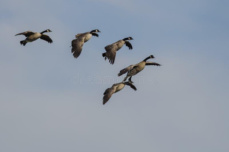 Troupeau des oies de Canada entrant pour d?barquer dans un ciel bleu photos stock
