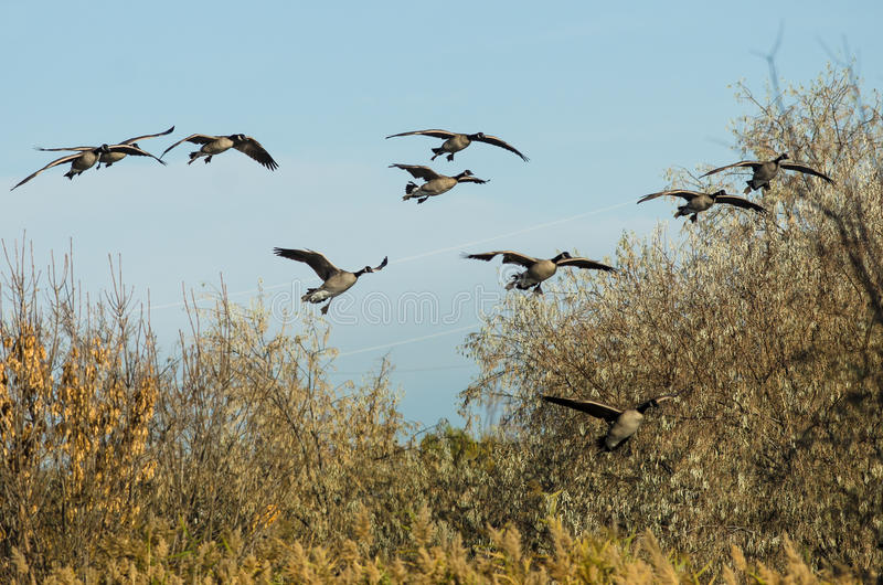 Troupeau des oies de Canada entrant pour un atterrissage dans le marais photo stock