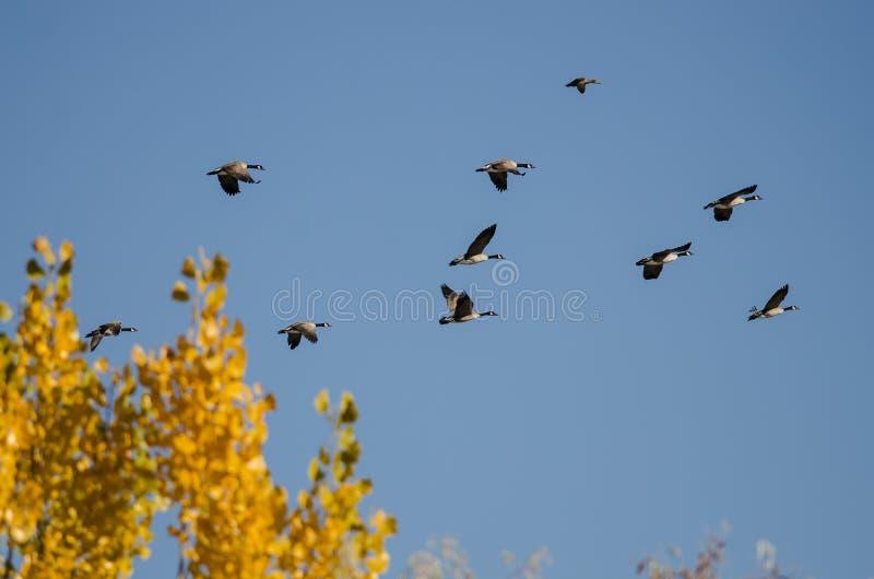 Troupeau des oies de Canada volant apr?s Autumn Tree d'or photographie stock libre de droits