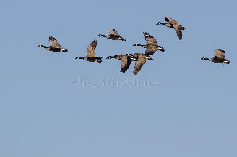 Troupeau des oies de Canada volant dans un ciel bleu images libres de droits