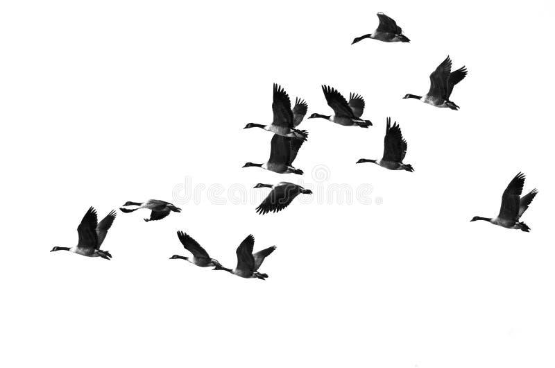 Troupeau des oies de Canada volant sur un fond blanc image libre de droits