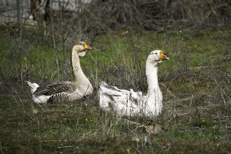Troupeau des oies frôlant sur l'herbe verte photos libres de droits