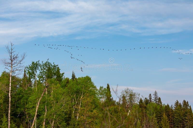 Troupeau des oies sur le vol de ciel bleu dans la formation photo stock