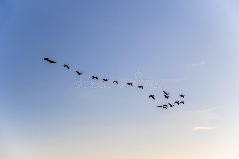 Troupeau des oies volant dans le ciel photo stock