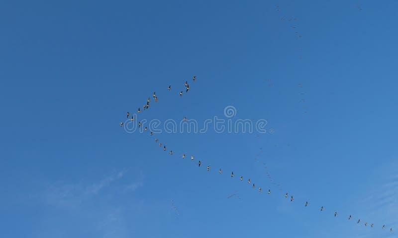 Troupeau des oies volant dans un ciel bleu photo stock