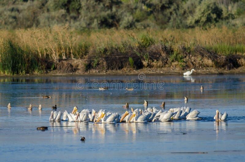 Troupeau des pélicans blancs américains se reposant et alimentant dans le marais photographie stock