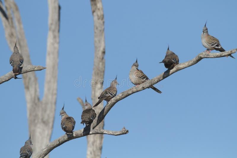 Troupeau des pigeons crêtés photo libre de droits