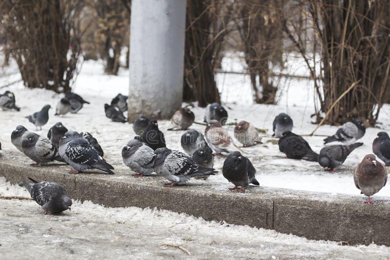Troupeau des pigeons se reposant sur la neige congelée sur la rue photos libres de droits